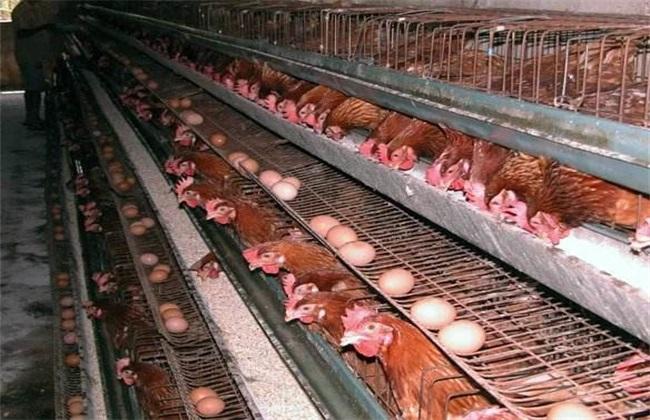 秋季蛋鸡 饲养管理 蛋鸡秋管