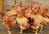 秋季蛋鸡饲养管理