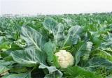 花椰菜种植注意事项
