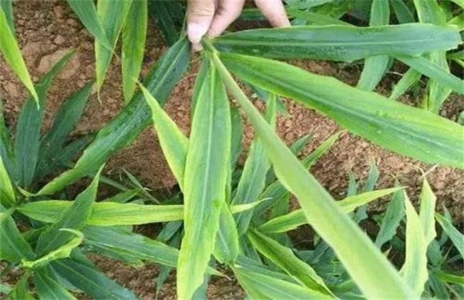 大姜干尖黄叶原因及防治措施