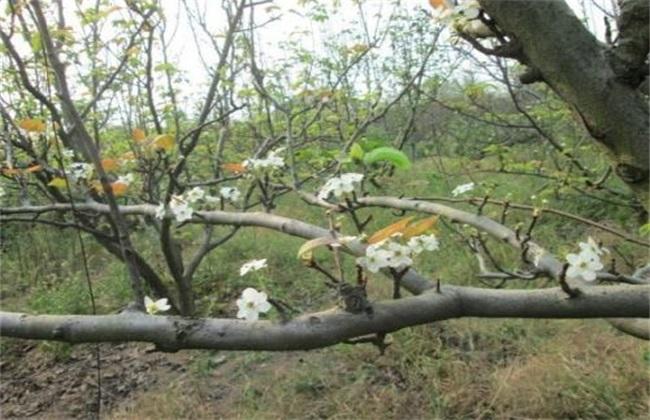 梨树花期如何管理?梨树的花期管理技术