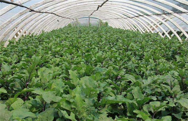茄子苗高矮不齐原因及防治措施