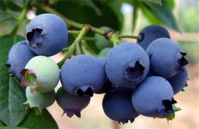 蓝莓休眠期管理技术