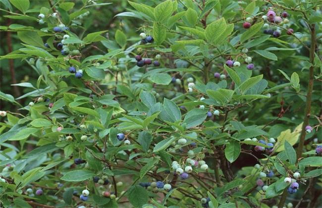 蓝莓休眠期管理 蓝莓休眠期