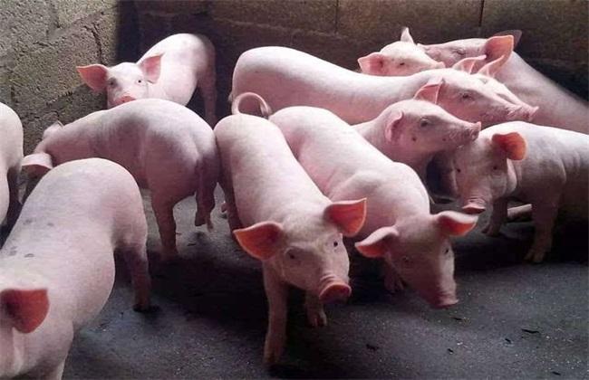 育肥猪长得慢怎么办 育肥猪