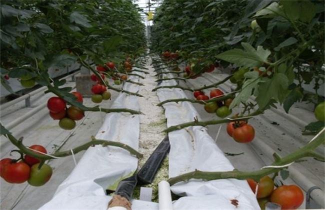 番茄无土栽培技术要点