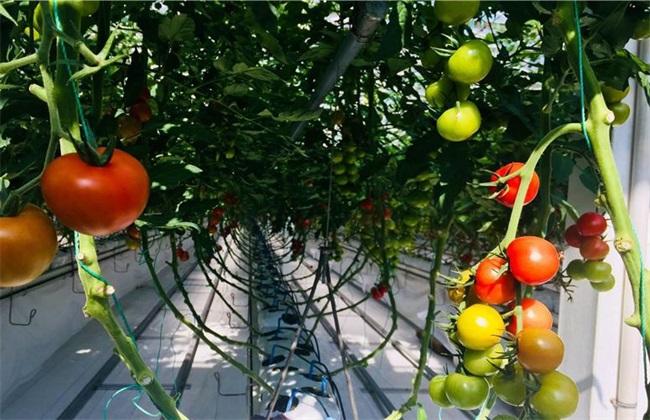 番茄无土栽培 番茄 无土栽培