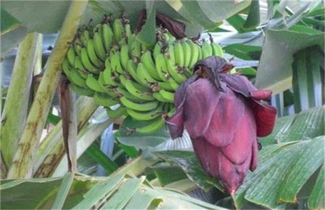香蕉断蕾后管理技术