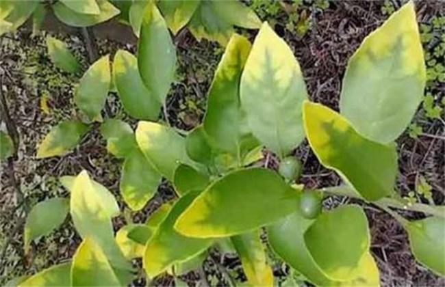 柑橘发生肥害的补救措施