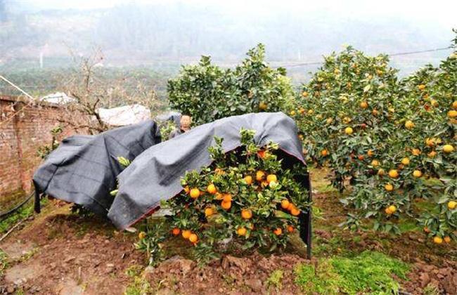 柑橘越冬注意事项