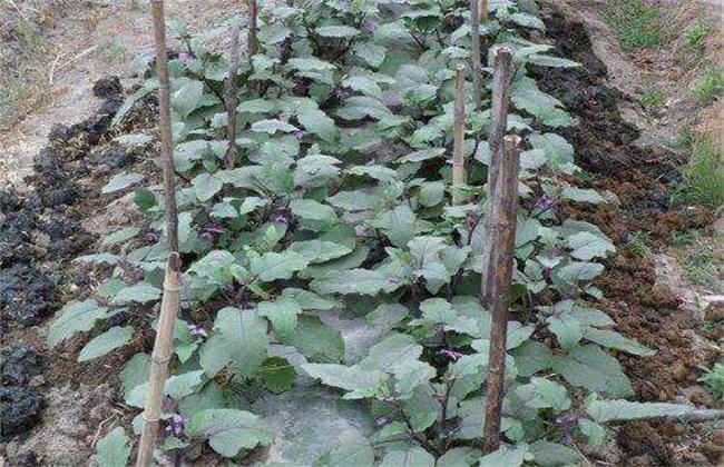 秋后茄子栽培技巧