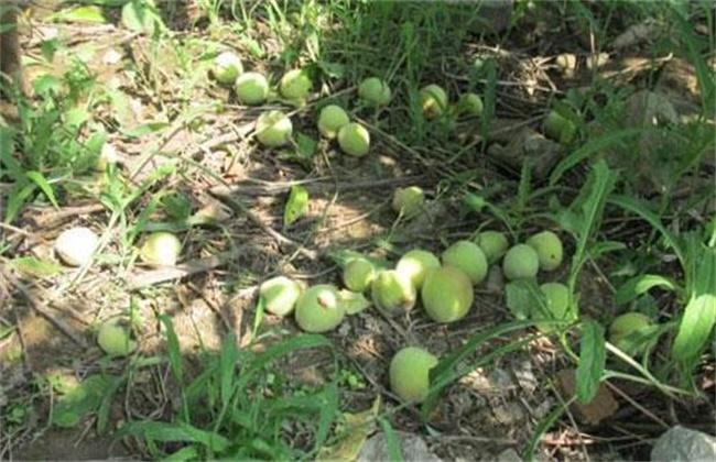 如何有效防止柿子落果