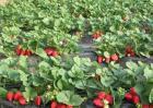 大棚草莓如何管理温湿度