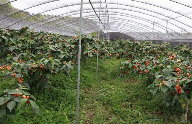 温室大棚樱桃如何管理温度