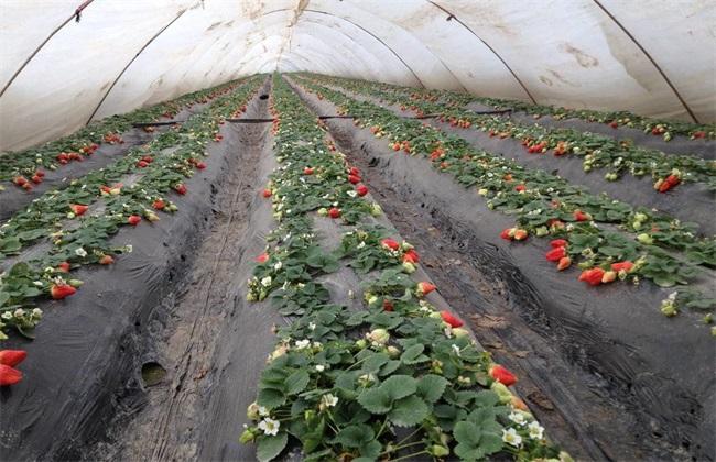 草莓覆膜防寒 草莓防寒越冬