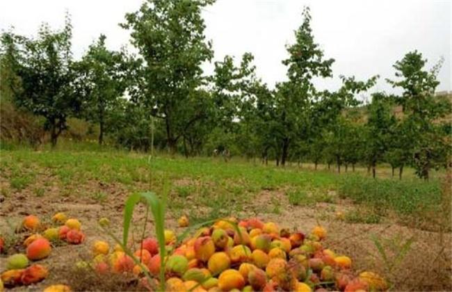 杏树烂果原因及防治措施