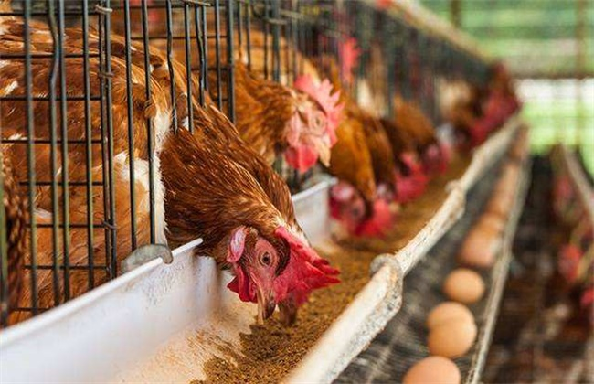 蛋鸡淘汰时间 多久淘汰蛋鸡
