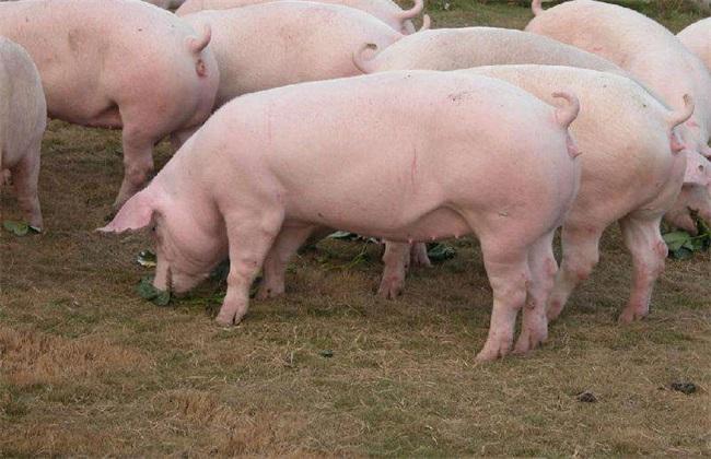 如何选择母猪 挑选母猪品种
