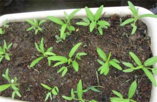 空心菜种子播种前 处理方法