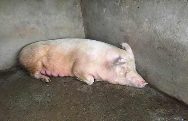 母猪产前要准备什么