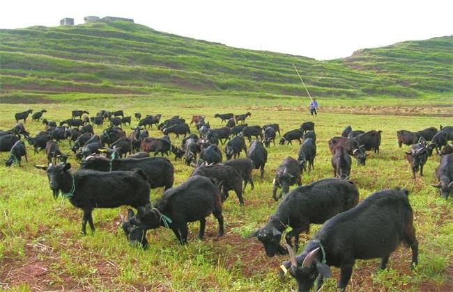 小型养羊场 常见问题