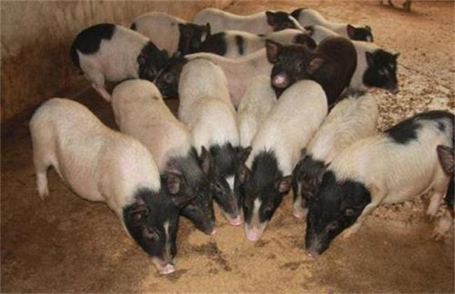 养猪常见禁忌