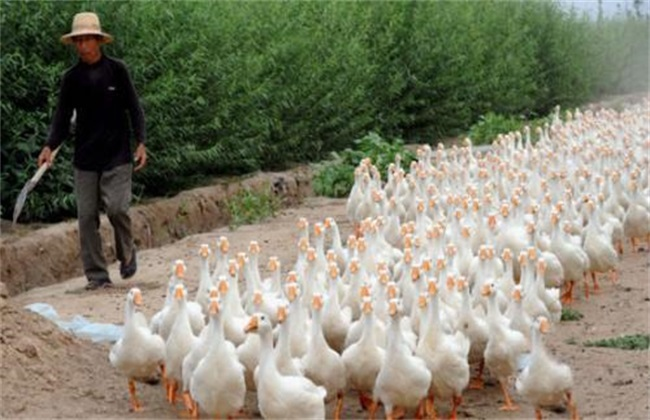 散养鹅放牧方法