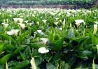 海芋的繁殖方法