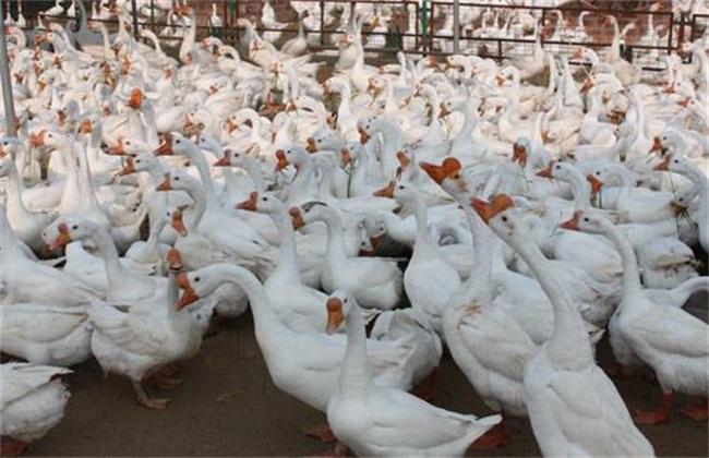 种鹅休产期饲养管理