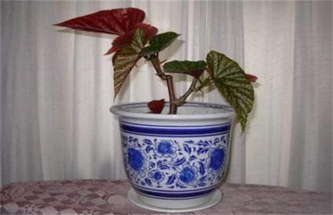 竹节海棠的换盆方法