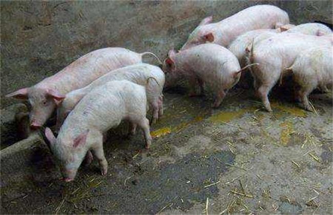 仔猪断奶后积食的解决方法