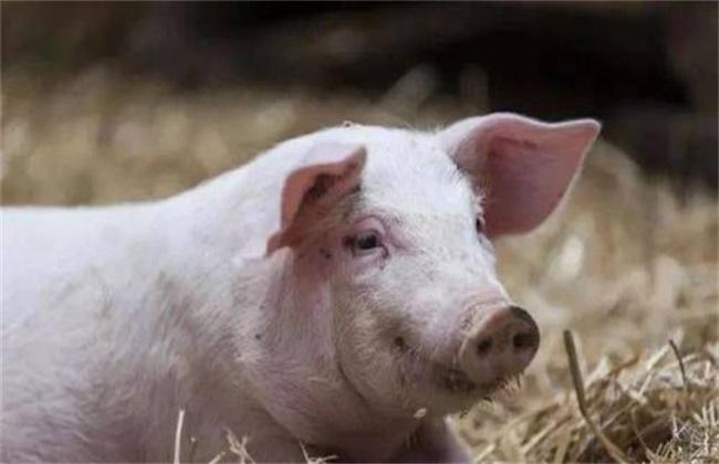 母猪亚健康原因及预防措施