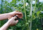 番茄整枝方法