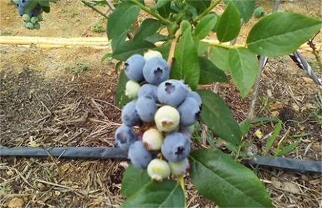 蓝莓蛴螬的防治方法