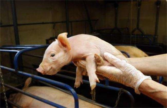 新生仔猪如何护理