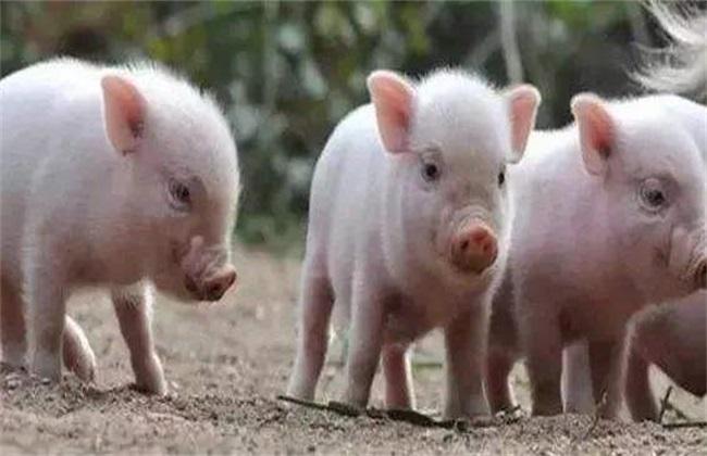 新生仔猪护理注意什么