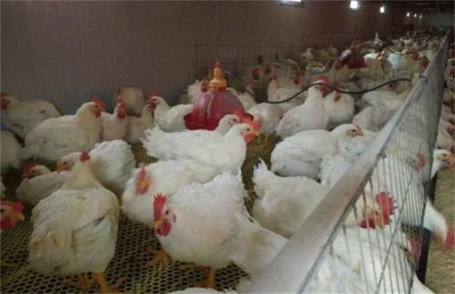 白羽肉鸡 饲养 管理