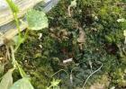 大棚土壤长青苔原因及解决方法