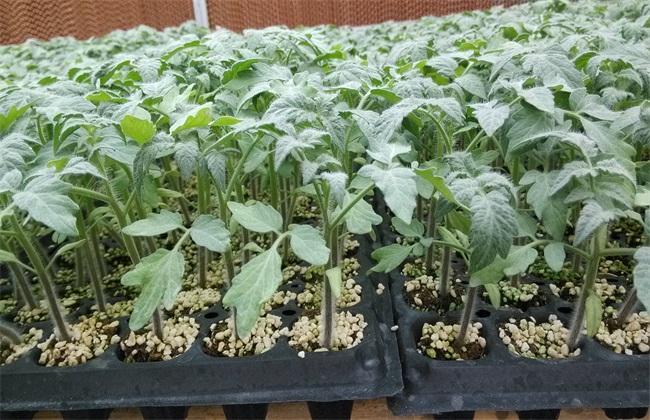 早春番茄 育苗技术