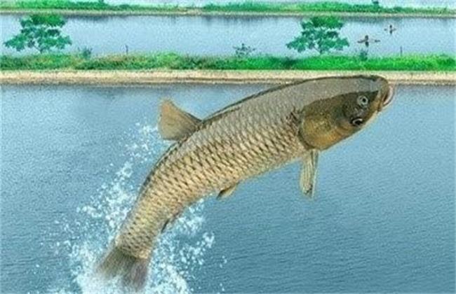 草鱼吃食后狂游不止的原因