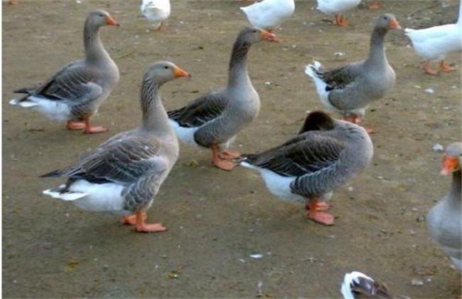 雏鹅的养殖技术要点