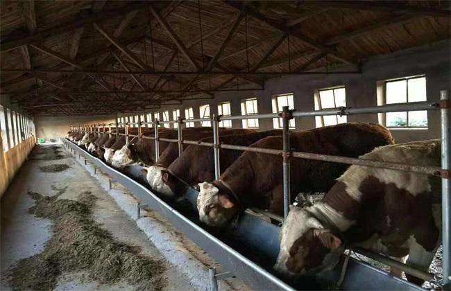 冬季 如何 快速育肥牛