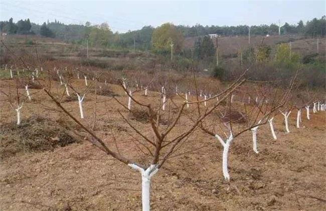 果树涂白 作用