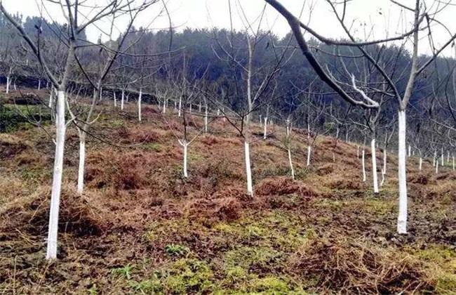 冬季核桃树 管理技术