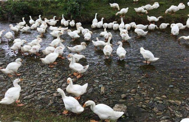 大白鹅的养殖技术
