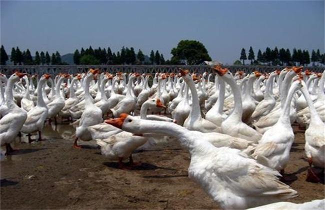 大白鹅养殖注意事项