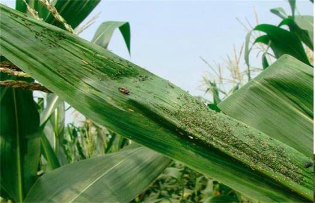 玉米蚜虫的防治方法