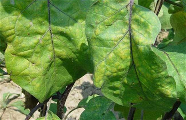 茄子 摘叶时间 方法