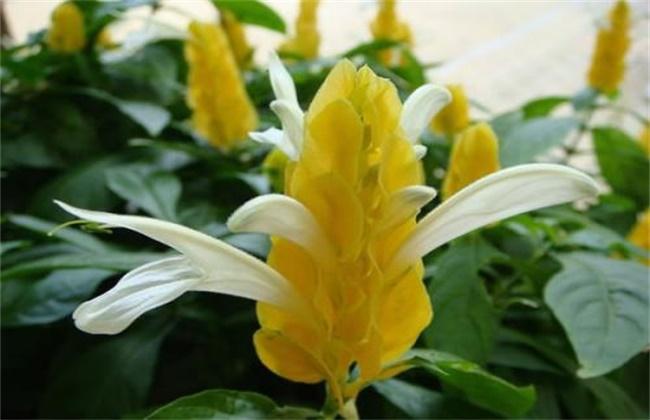 金苞花的养殖方法和注意事项