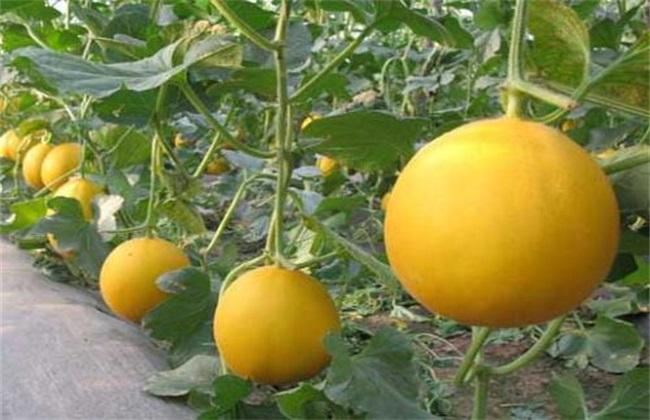 甜瓜高产种植技术
